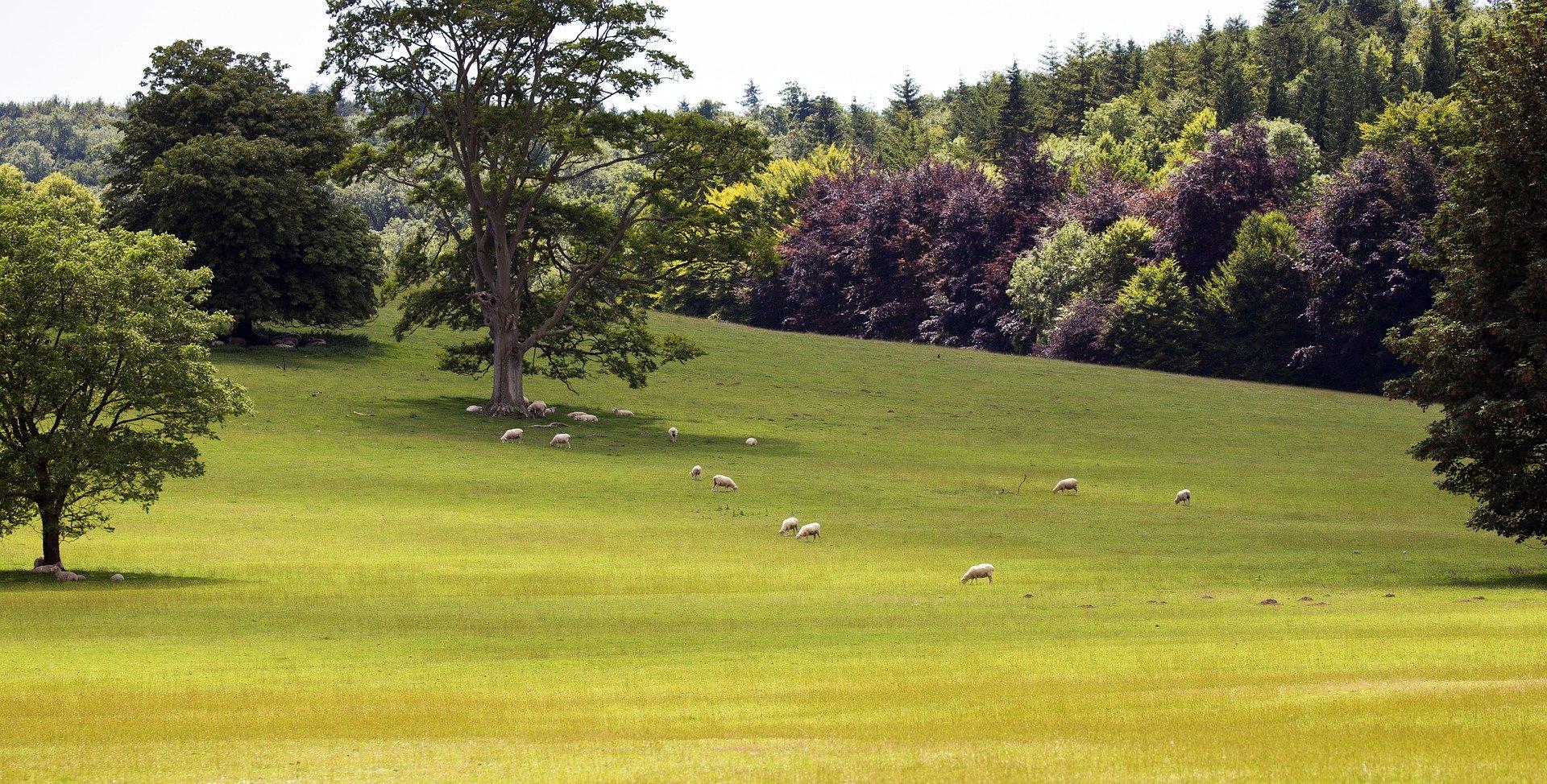 Countryside and sheep